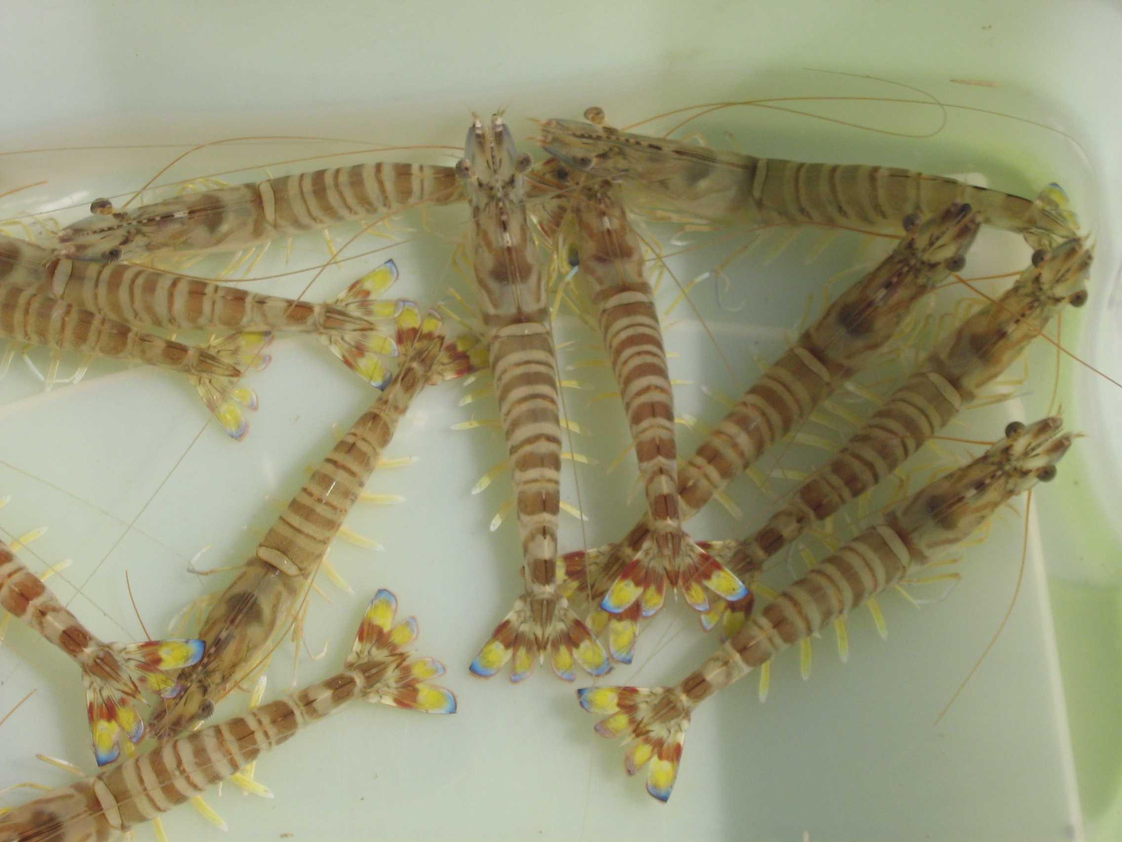 presentation crevettes
